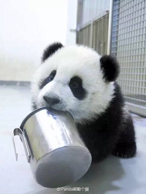 "Giant Panda cub in China © Discover China | ""Just in case you forgot...it's time for breakfast. I know cuz my tummy's talking."""