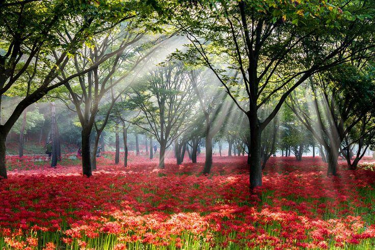 붉게 물든 꽃무릇이 마음 설레게 하는 영광 불갑사 (사진-제42회 대한민국 관광사진 공모전 입선작 김성자)