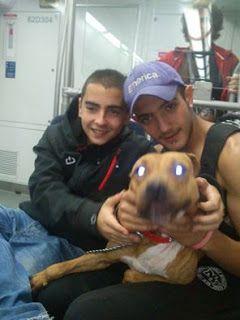 Χαθηκε στην Αργυρουπολη pitbull. Το έχει δει κανείς?
