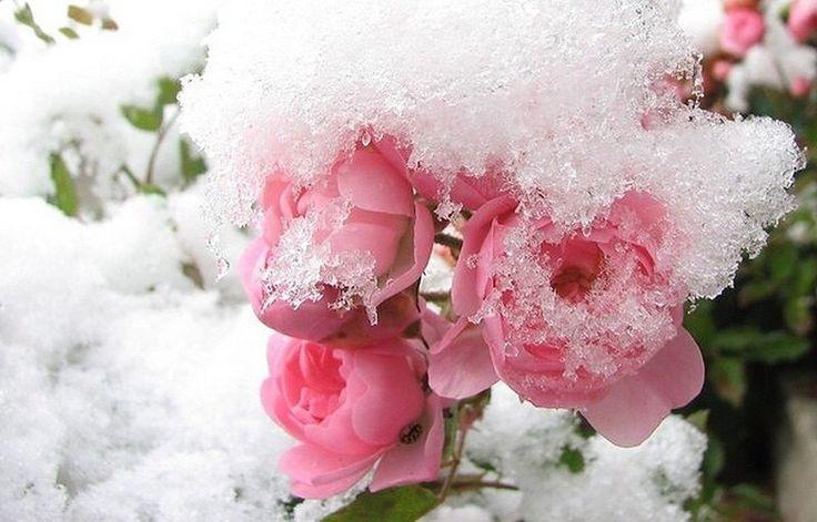 бабы цветы зима картинки красивые выбираю естественность