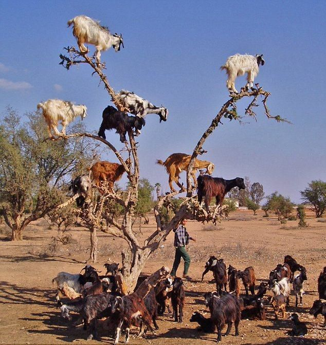 Yup! Goats really climb anything - even trees! See the goatherder. Okay you guys - get down here right now! I mean it! Quit fooling around or I won't take you down to the river to drink.