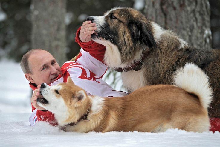 モスクワ郊外の公邸で、秋田県から贈られた秋田犬「ゆめ」(手前)と戯れるロシアのプーチン大統領(ロシア・モスクワ) =AFP時事、2013年03月24日撮影