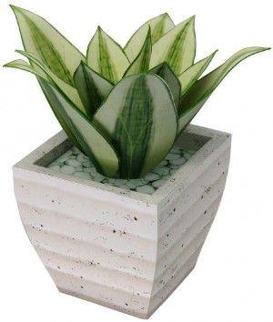 Sansevieria planta