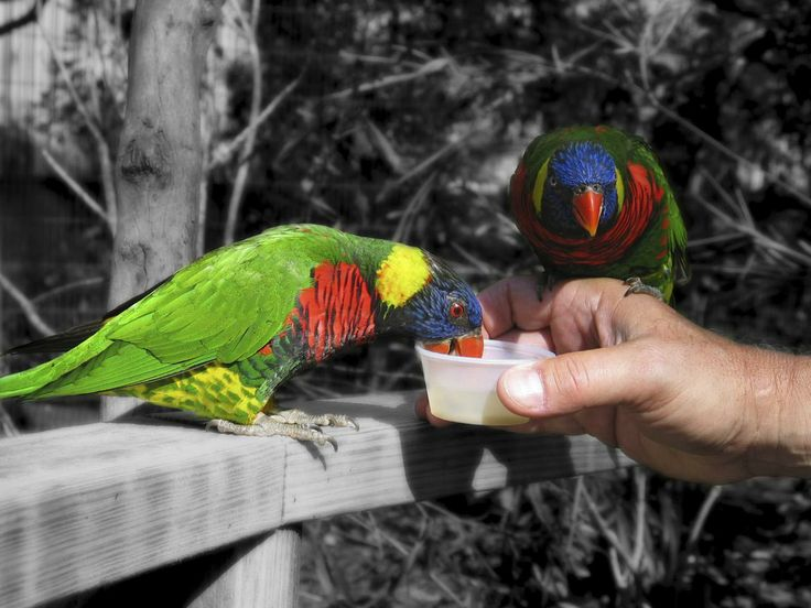 how to make bird treats for budgies