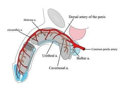 Helicine Artery | Arteries & Veins | Arteries, veins, Sketches
