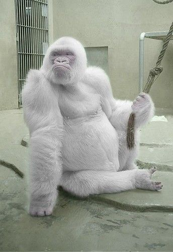 Snowflake, the ONLY KNOWN albino gorilla. Lived at the Barcelona Zoo from 1967-2003. Captured from the wild by poachers in 1967, Snowflake lived out most of his life at the Barcelona zoo.  He died at the ripe old age of 40 due to skin cancer, probably related to his albinism. He outlived all of his 22 children, none of whom were albino, but lived to see his many grandchildren - a rarity for gorillas.