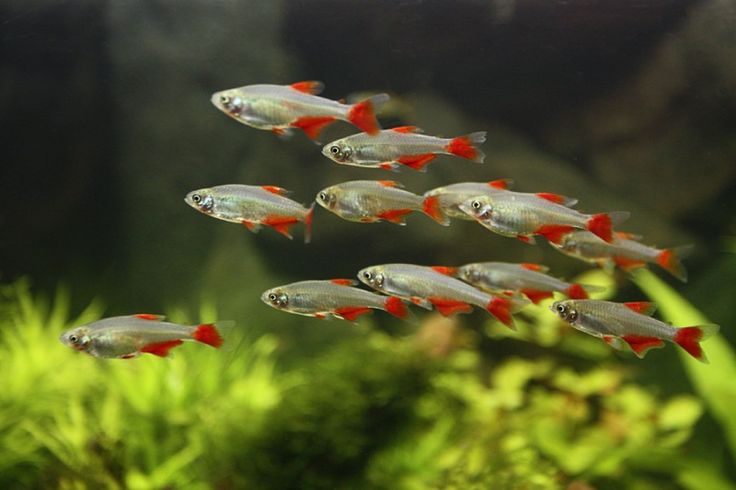 Fish - Bloodfin tetras. Good beginner fish, should be kept in schools of at least 6. Color foods keep their colors bright.