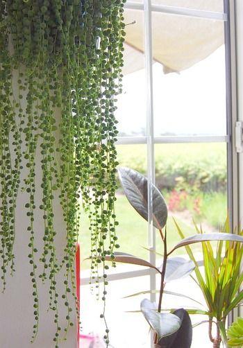 こちらは「グリーンネックレス」という多肉植物。真珠の首飾りのような形が美しく、窓辺に垂れ下がるように配置すると陽射しを和らげるグリーンカーテンの役目も果たしてくれます。