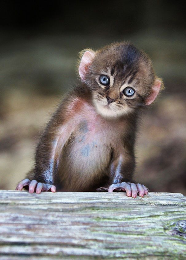Mittens: Cute Monkey-Kitten Hybrids | Bored Panda