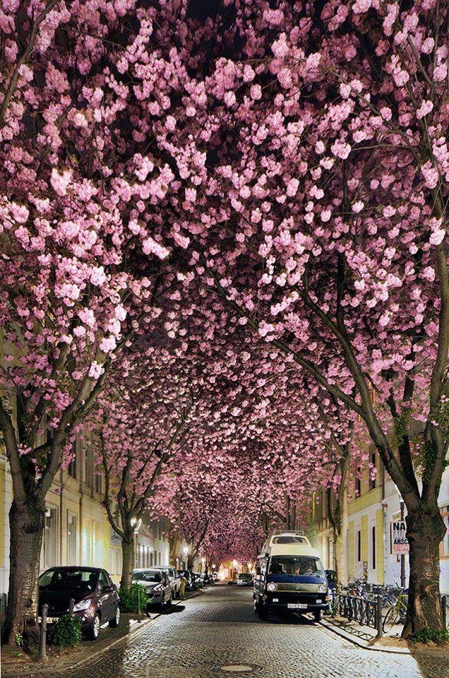 Kirschblüte Bonn Altstadt Heerstraße 2013 (1)