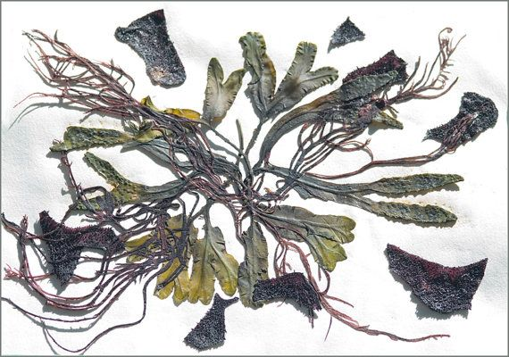 Seaweed Pressing, Botanical Mixed Media Collage with Algae by Irene Blueth