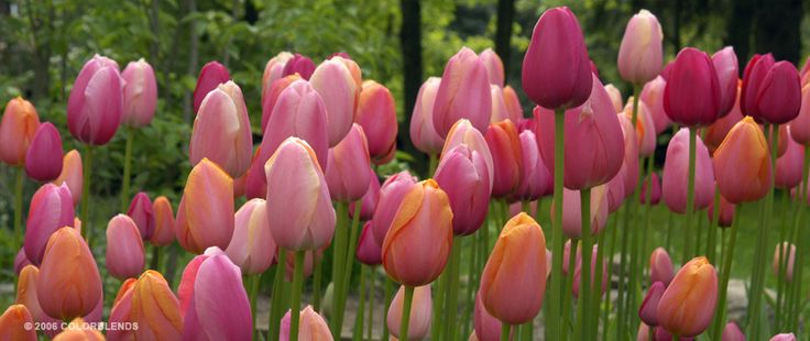 Tulip French Blend Rose ™ | Bulbs as Cut Flowers Bulbs for Sale | COLORBLENDS