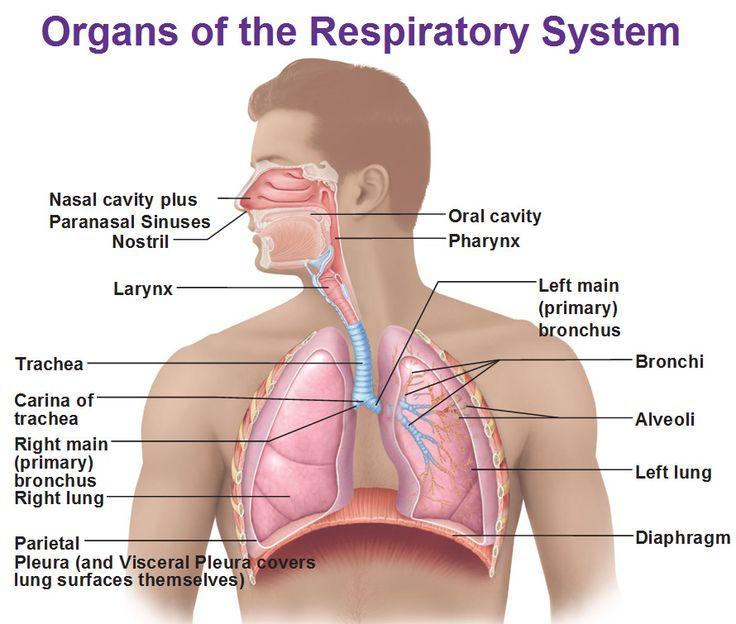organs of the respiratory system, larynx, bronchi, alveoli, diaphragm, trachea, pharynx, paranasal sinuses
