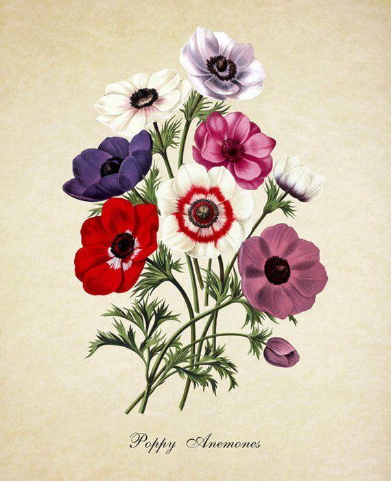 Botanical Print Poppy Anemones Print Home Decor Poppy Etsy Flower Prints Art Flower Art Flower Wall Art