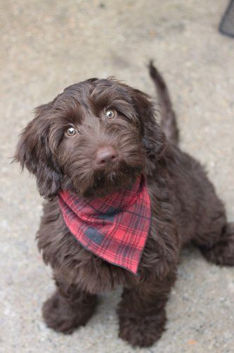 Chocolate Australian Labradoodle puppy... Premier Australian Labradoodle Breeder located in Michigan.  We utilize Puppy Culture, Early Neurological Stimulation, and focus on health, structure, and temperaments