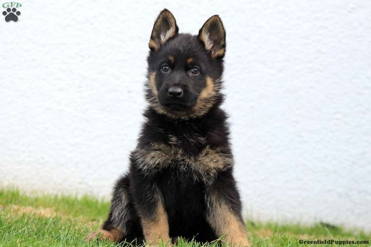 Tiffany, German Shepherd Puppy