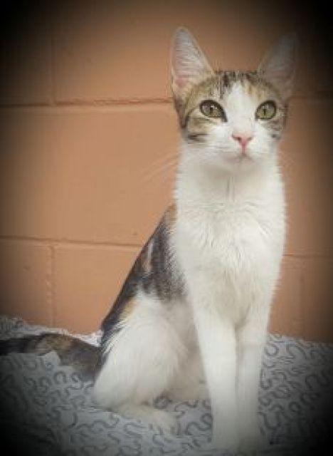 exo: Hembra  Raza: Gato Común Europeo (Tricolor)  Nacimiento: Junio 2016    Pepita es una jovencita... #adoptar #mascotas #adopcion #perros #gatos