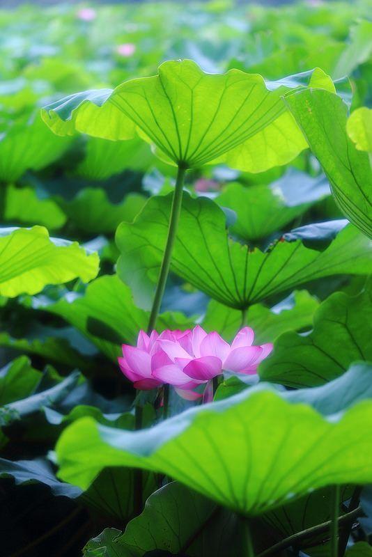 153 best lotus flowers water llilies images on pinterest lotus lotus at shinobazunoikeueno onshi park tokyo mightylinksfo Images
