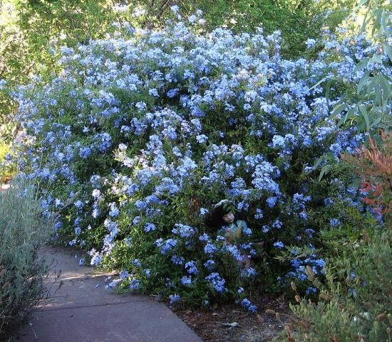 The plumbago plant (Plumbago auriculata), is a shrub and in its natural surroundings can grow six to ten feet tall with a spread of 8-10 feet. It is native to South Africa. This plant is found in Perth gardens and handles the heat of summer well. Plumbago plants are sprawling shrubs with branches that resemble vines. It is prized for the profusion of blue phlox-like flowers it produces for extended periods of time. It has few pests, and diseases are rare and drought tolerate,