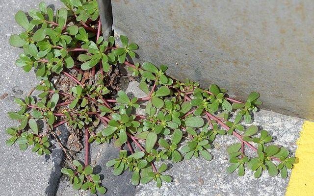Esta é uma extraordinária planta medicinal.Ela é conhecida desde os tempos antigos por ter grandes virtudes medicinais.Esta planta é um dos poucos alimentos de origem vegetal que é grande fonte do ácido graxo ômega 3, necessário para a boa manutenção da saúde.