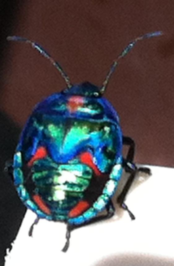 A beautiful stink bug. Kingscliff NSW