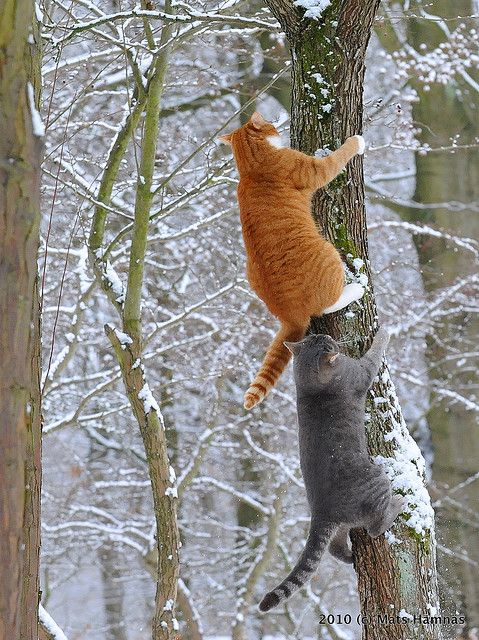 Orange tabby, gray cats - climbing tree - snow