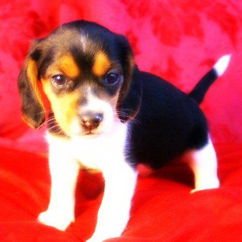 Queen Elizabeth Pocket Beagles - We Have Puppies