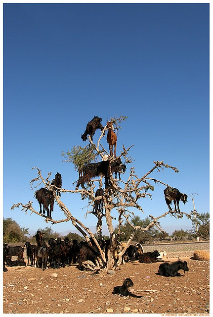 """These Moroccan goats love to climb trees, attracted by the """"argo"""" nuts. Locals use these nuts to make oil. Goats seem to get a kick from both nuts and climbing."""
