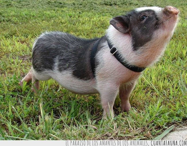 Después de ver a estos cerditos, los querrás como mascota #cerditos #pig #animal #cute