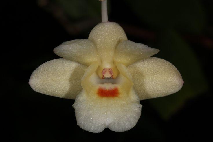 Dendrobium sanguinolentum -  From Thailand, Borneo, Java, Peninsular Malaysia, Philippines, and Sumatra.