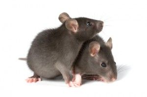 How To Get Rid Of Mice Forever Anyone who's ever lived in an old house or a house in a rural area has wondered at some point or another how to get rid of mice. Old houses can have holes small enough to allow mice to squeeze through, and country homes or farm houses will probably deal with mice