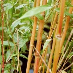 Le bambou Phyllostachys 'Aureocaulis' pour une haie colorée Le bambou Phyllostachys aureosulcata 'Aureocaulis' est spectaculaire avec ses chaumes jaune soufré. Ce bambou géant peut facilement atteindre 8m de haut. Il mettra de la couleur dans vos jardins. Parfait pour constituer des haies hautes, le bambou Phyllostachys aureosulcata 'Aureocaulis' est comme les bambous du genre Phyllostachys relativement traçant. On pensera poser de la barrière anti-rhizomes si l'on...