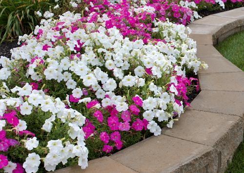 Превращаем однолетние петунии в многолетники | Цветы в саду (Усадьба)
