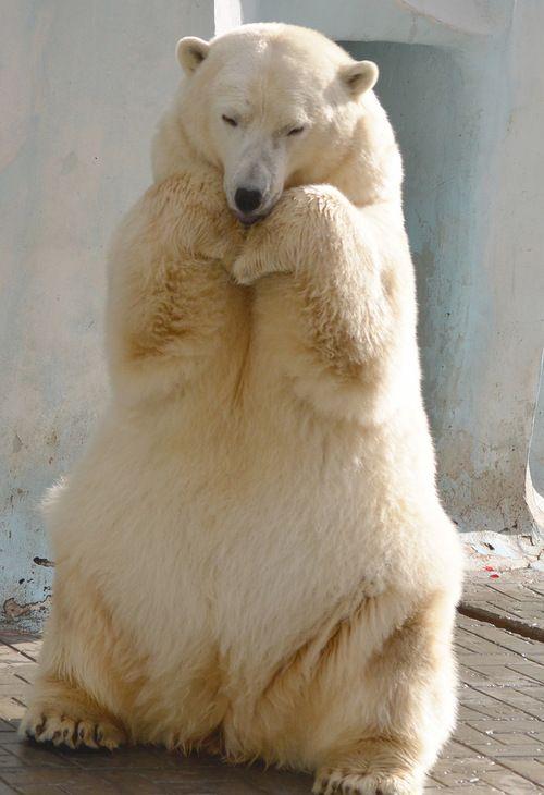 Polar bear                                                       …