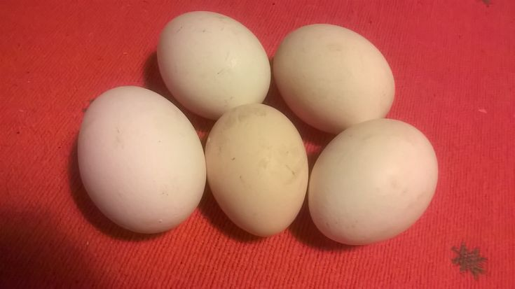 About white Italians, Sussex, Danish country and a lot of eggs