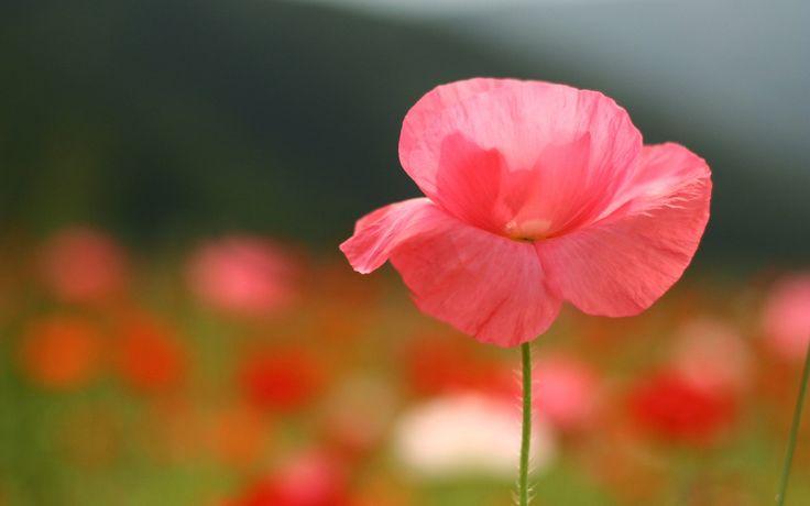 photographie de fleur fermer rose