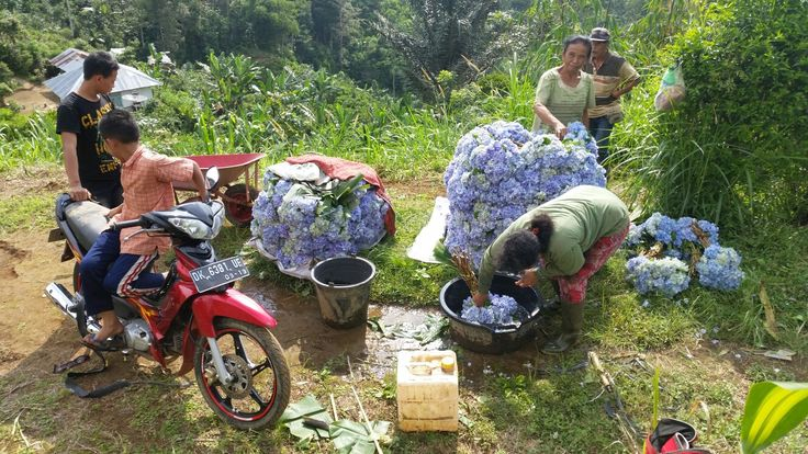 Hydrangea flowers ready for the market. These will be used to make the daily offerings