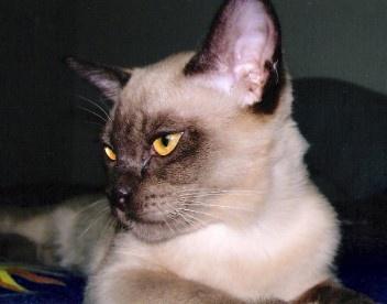 Burmese cat breeders in new york