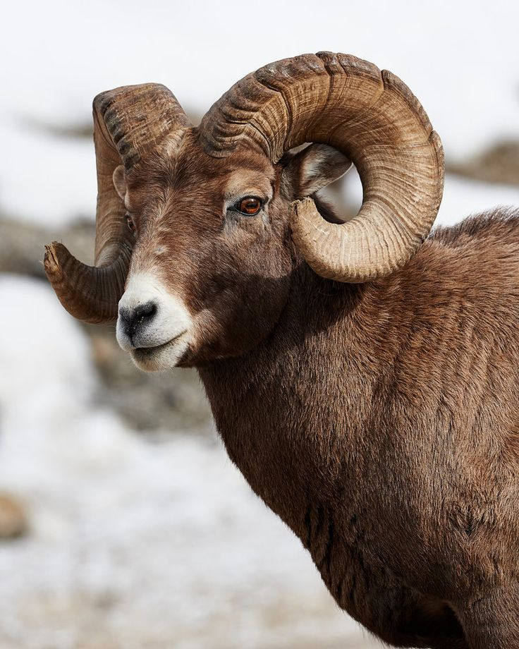 Big Horned Sheep - Big Boss by JestePhotography.deviantart.com on @DeviantArt
