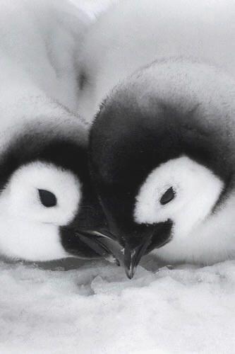 Baby penguins #HappyAlert via @Happy Hippo Billy