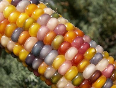 "OMG, Real-Life Candy Corn! It's called ""Glass Gem"" Corn. wow"