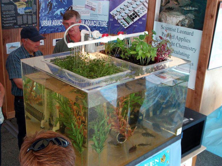 7 best images about cool aquaponics on pinterest gardens for Aquaponics aquarium