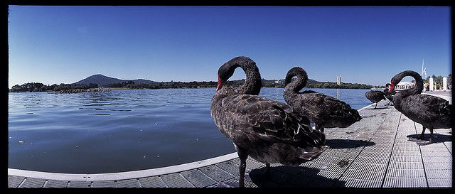 Native Swans, Lake Burley Griffin, Canberra, Australia by Camehbro, via Flickr