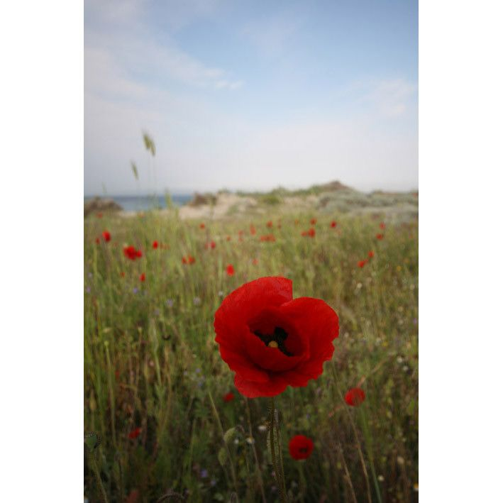 Poppy, Anzac Cove, Gallipoli, Turkey