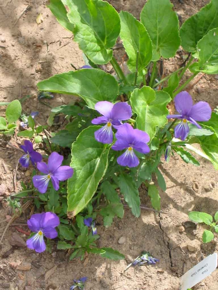 Corsican Violet - perennial in zone 5, blooms all summer ...