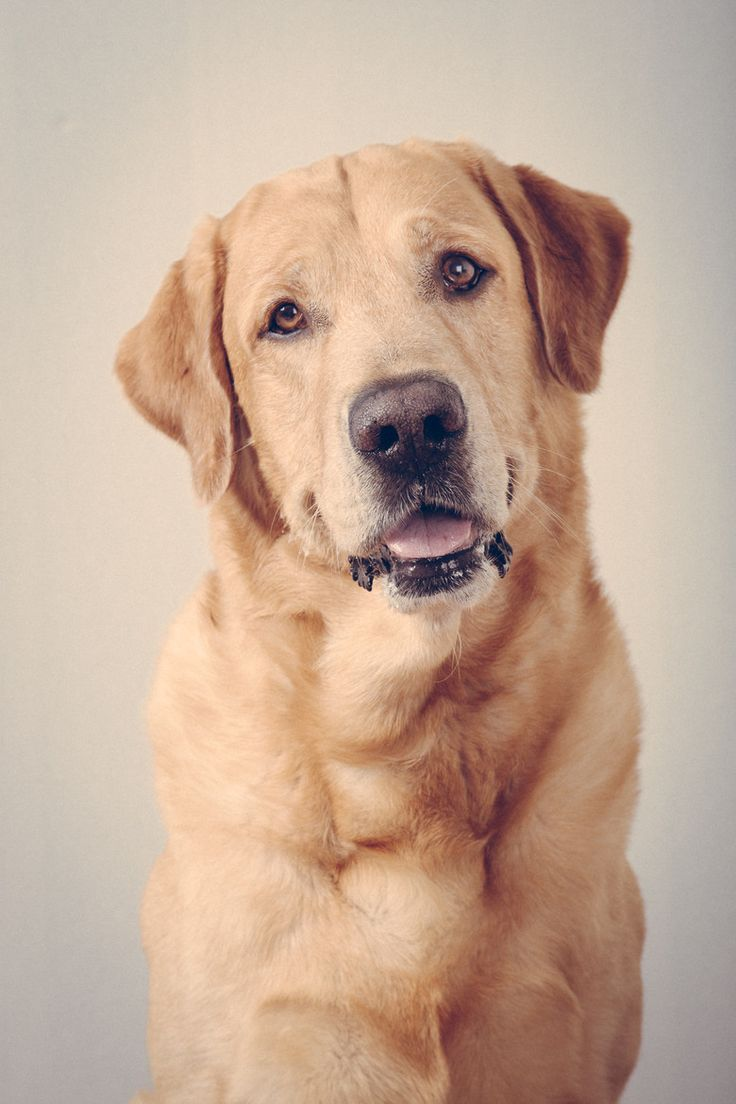 Buy Yellow Lab Puppies For Sale In Alaska USA
