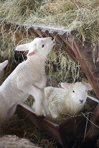 Two little lambs [and a third to the left, with just his ear showing], one eating hay, and the other laying in the hay.....such sweet country life ~