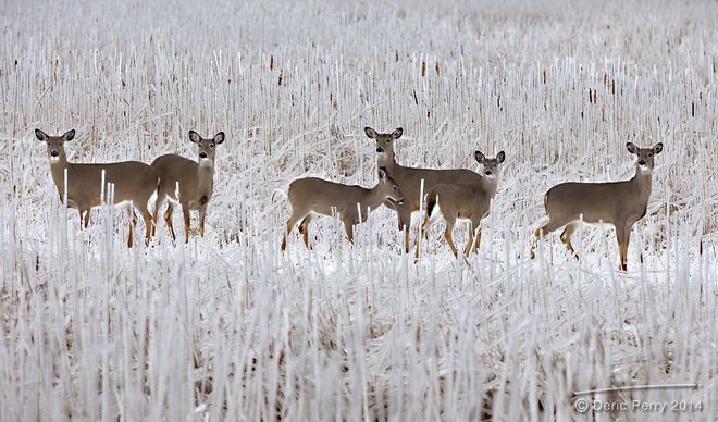 Deer at Presqu'ile Provincial Park