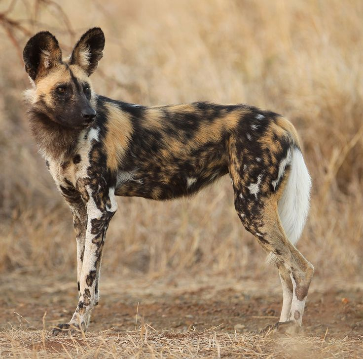 Nearly 80% Of All Wild Dog Hunts Are Successful, Unlike