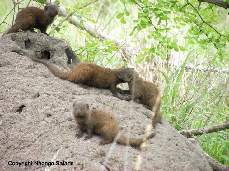 Dwarf mongoose 3